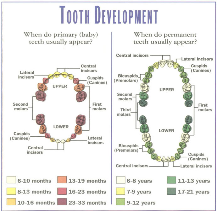 Facts about Baby Teeth